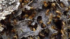 Nasute termites defending a break in their nest. In tropical rainforest, Ecuador Stock Footage