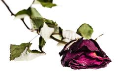 Faded rose isolated Stock Photos