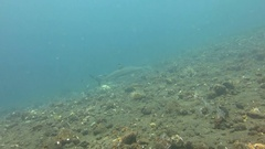 Black tip reef sharks swimming underwater. Stock Footage