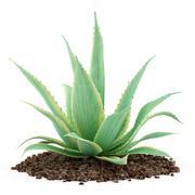 Aloe plant isolated on white background. 3d illustration Stock Illustration