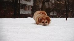 Little funny corgi, fluffy puppy playing outdoors in snow Stock Footage