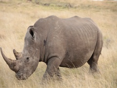 Male rhino with large horn walks through the plains Stock Footage