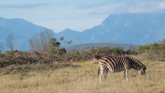 An African plains zebra grazes with a mountain range in the distance Stock Footage