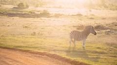 An African plains zebra grazes at golden hour Stock Footage