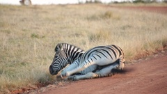 An African plains zebra rolls around in the dust Stock Footage