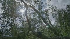 Sunshine Lens Flare throug Olive Tree in Tuscany - 29,97FPS NTSC Stock Footage