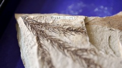 Fossil leaf in stone Stock Footage