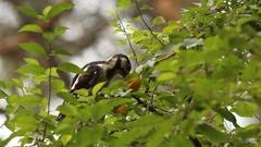 Woodpecker pecks plum. Stock Footage