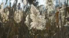 Common reed lit by the sun. Riverdale Park, Toronto, Canada. Stock Footage