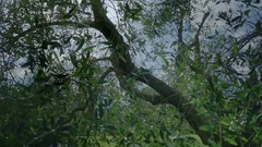 Shimmering Sunshine through Olive Tree in Tuscany - 29,97FPS NTSC Stock Footage