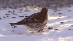 Common redpoll bird feeding on ground Stock Footage