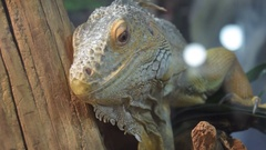 Iguana lizard in the cage behind glass Stock Footage