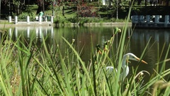 Egret Walking Next to Lake in Urban Park Behind Leaves Stock Footage