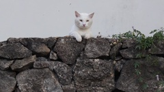 White Cat On Stone Wall White Background Stock Footage