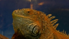 Ungraded: Green Iguana Close-Up Stock Footage