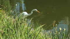 Egret Walking Along Lake In Park Duck Passes by Swimming Belo Horizonte - Brazil Stock Footage