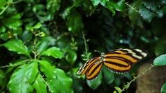 Ismenius Tiger, ( Heliconius ismenius ) very slow motion footage Stock Footage