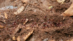 Ant Trail in Karura Forest, Kenya Stock Footage