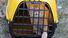 Red cat sitting in yellow pet carrier for animals Arkistovideo