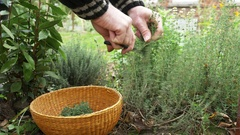 Gardener harvesting sprigs of thyme (Thymus vulgaris) in a herb garden Stock Footage