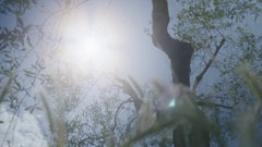 Looking at the Sun under Olive Tree - 25FPS PAL Stock Footage
