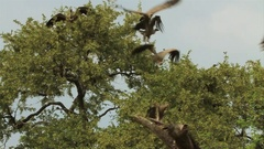Classic shot of Vultures taking off in Slow Motion Stock Footage