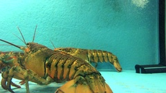 Lobster Fights in Tank Stock Footage
