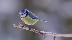 Blue tit bird perched on branch long recording fly away Stock Footage