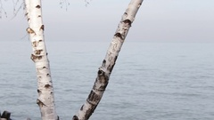 White Birch tree on the shores of Lake Erie Stock Footage