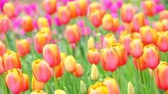 Tulip field Stock Footage