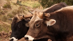 Bulls Working in the Field Stock Footage