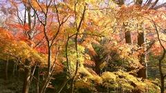 Autumn foliage, Japan Stock Footage