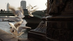 Seagulls Feeding by the River Thames London Stock Footage
