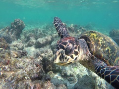 Beside a turtle swim in the coral reef Stock Footage