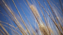 High yellow grass on a background of the blue sea Stock Footage