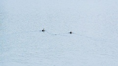 Pair of A Black Ducks Are Swimming And Enjoying In The River Water Stock Footage