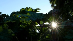 Sun ray through giant rhubarb leaves with blue sky background Stock Footage