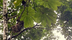 Three Toed Sloth in Costa Rica Stock Footage