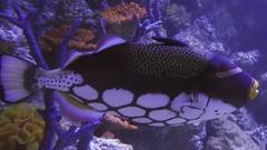 Clown triggerfish in saltwater aquarium stock footage video Stock Footage