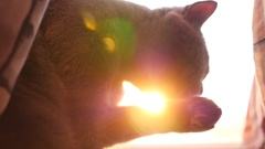 Pet cat washes its muzzle, tongue licking his paw in slow motion sun light haze Stock Footage