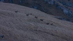 Alpine ibex herd running in the wild at breeding season, capra ibex Stock Footage