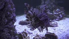 Red lionfish in the saltwater aquarium stock footage video Stock Footage