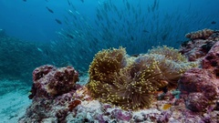 Sea Anemone in current with large school of fish Stock Footage