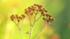Tansy (Tanacetum vulgare) Stock Footage