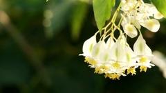 Begonia undulata in family Begoniaceae Stock Footage
