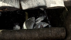 Some fish caught in the hold of a canoe of a fisherman. Detail. About fishing Stock Footage