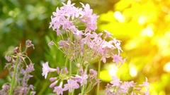 Tulbaghia violacea in onion family Alliaceae Stock Footage