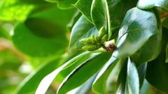 Camellia japonica Alba Plena Stock Footage