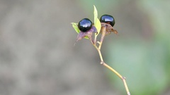 Atropa belladonna (deadly nightshade) Stock Footage