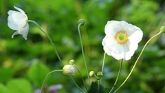 Anemone elegans is related to Pulsatilla Stock Footage